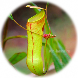 Pitcher plant (Nepenthes distillatoria)