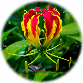 Niyangala или Kandal или The Flame Lily (Gloriosa superba)