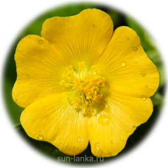 Indian Mallow (Abutilon indicum)