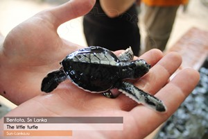 Черепаховая ферма в Бентоте, Шри Ланка